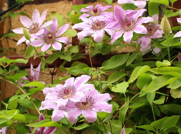 clematis-plantare