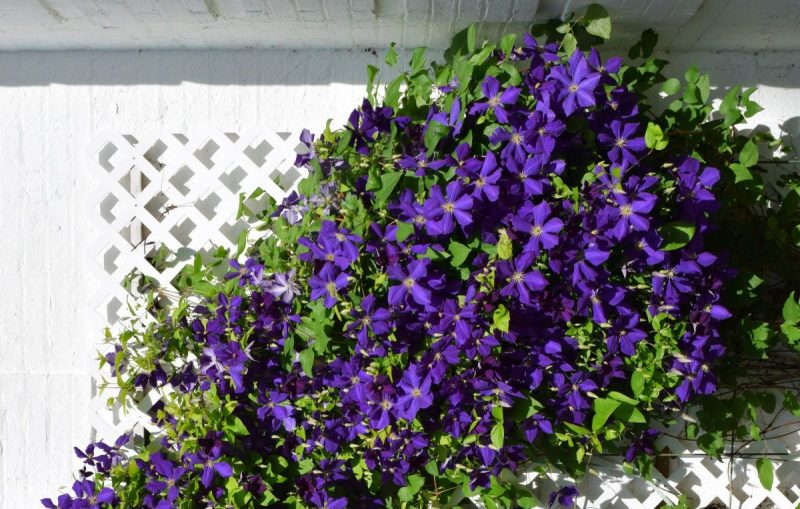 clematis-sfaturi-cultivare-ingrijire