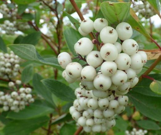 cornus-alba-fructe