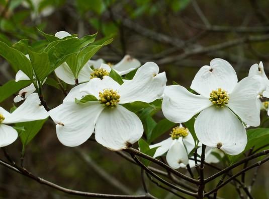 cornus-florida-flori