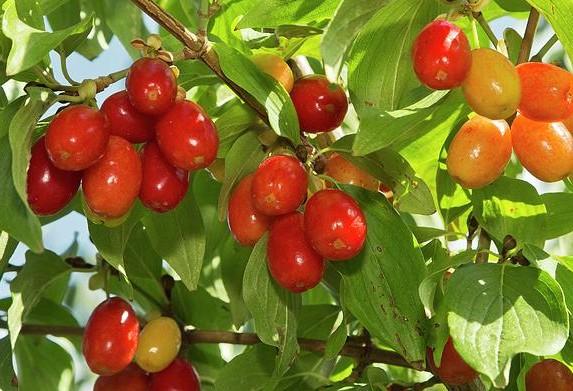 cornus-mas-fruct