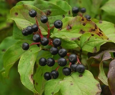 cornus-sanguinea-fructe