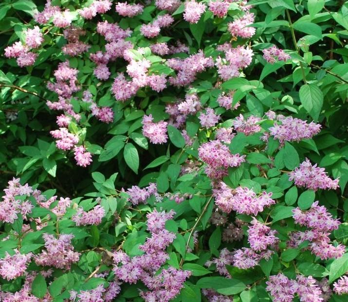 deutzia-sfaturi-cultivare