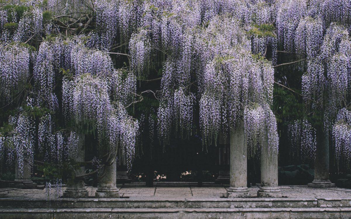 glicina-wisteria-sfaturi-ingrijire