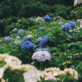 hortensia-crestere