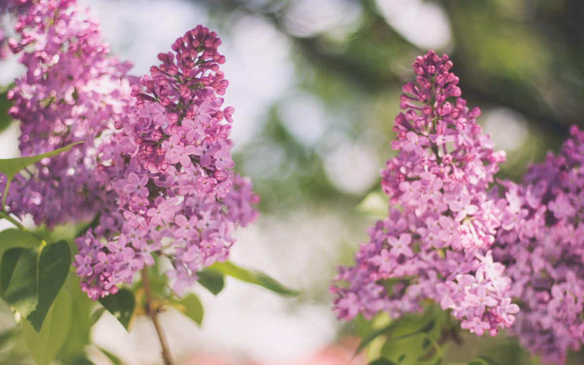 liliac-sfaturi-cultivare