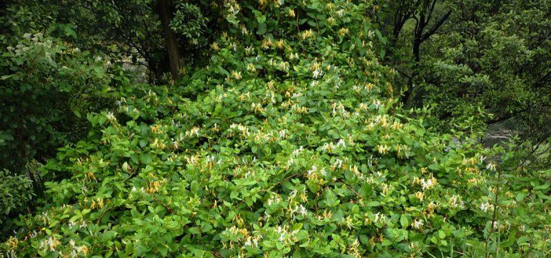 lonicera-japonica-crestere