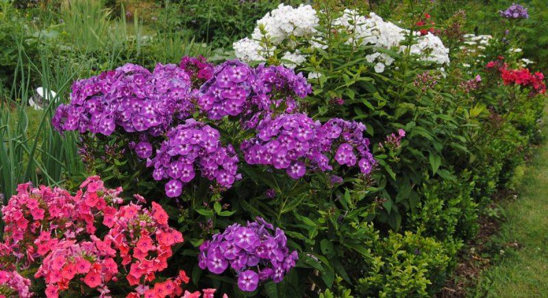 phlox-flori-sfaturi-cultivare