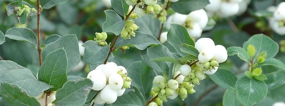 symphoricarpos-sfaturi-cultivare-ingrijire