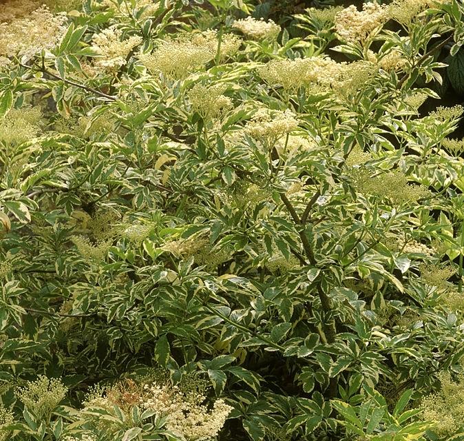 soc-negru-varietati