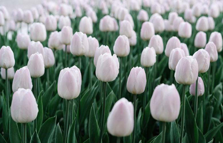 lalele-albe
