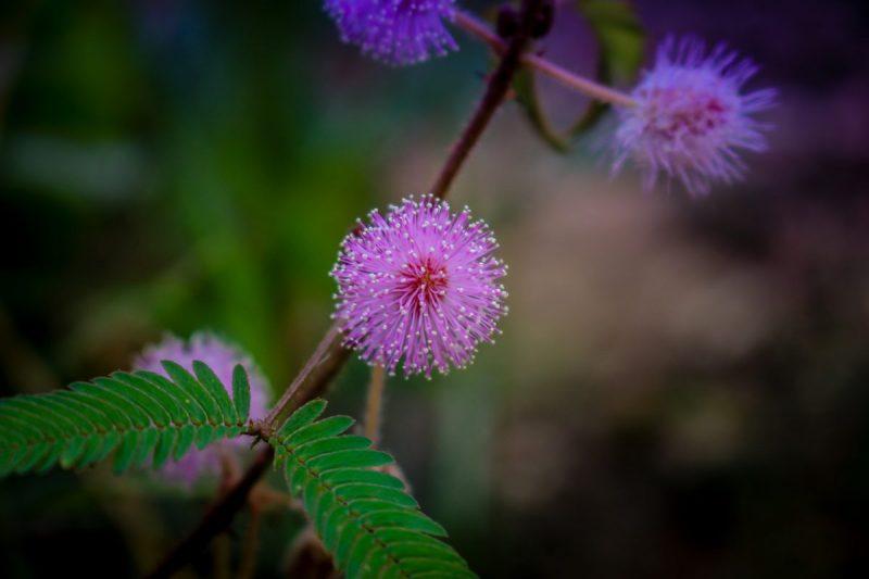 mimosa-pudica-ingrijire