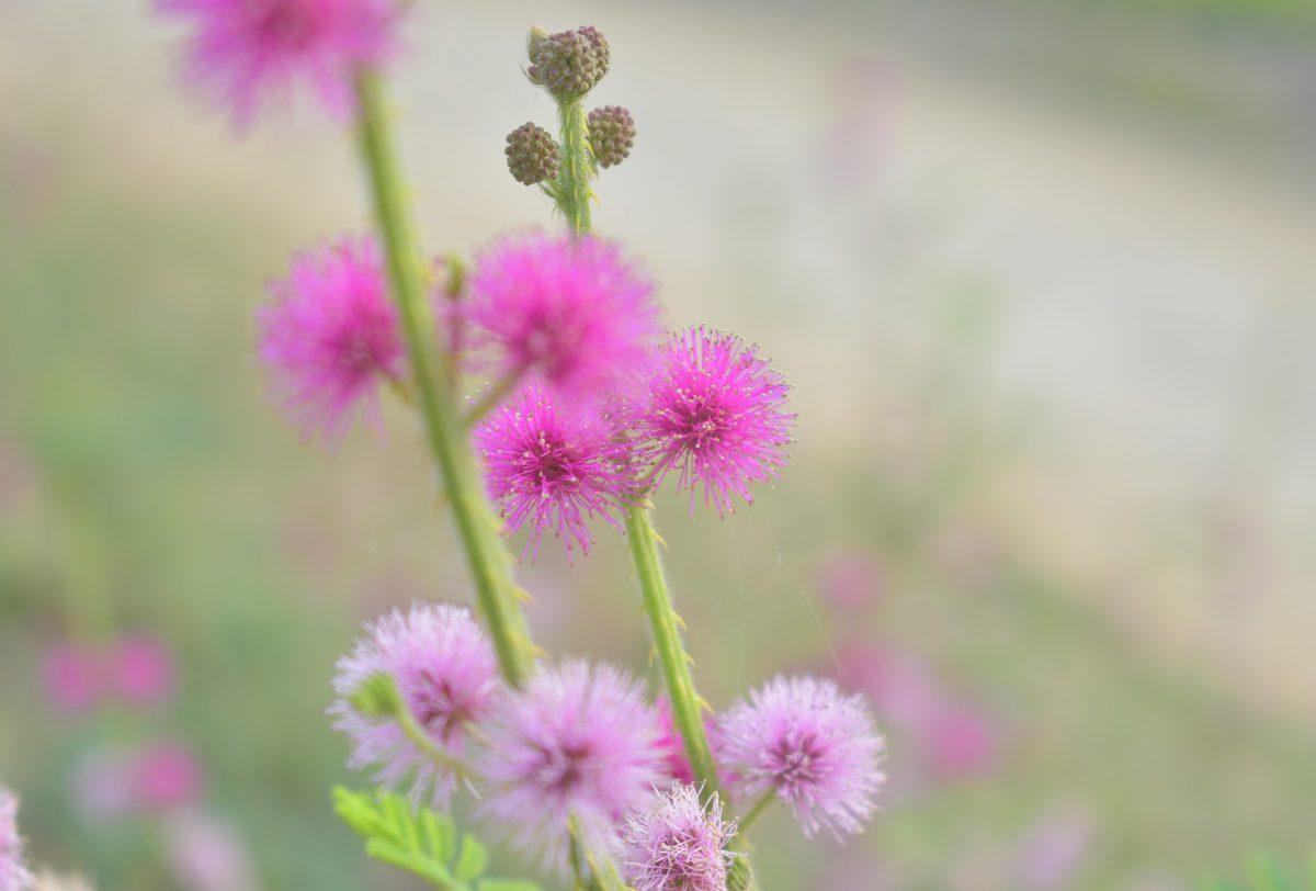 mimosa-pudica-ingrijire-mimoza