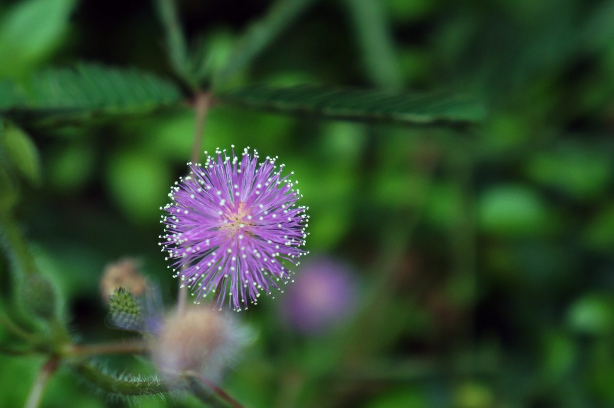 mimosa-pudica-mimoza
