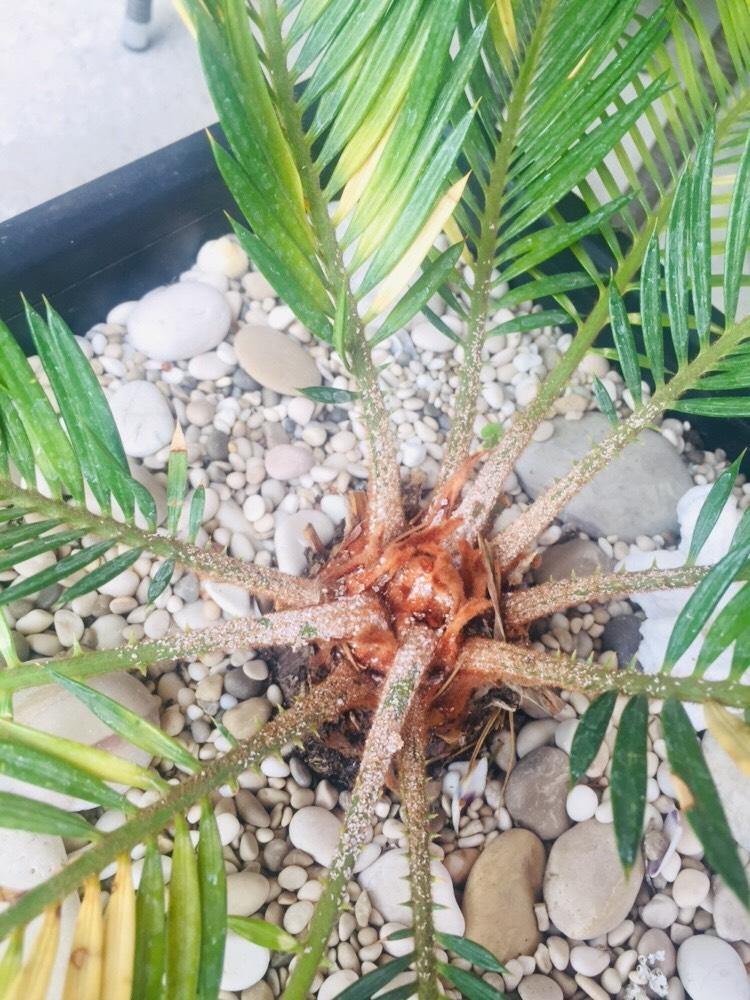 paduchi-testosi-palmier