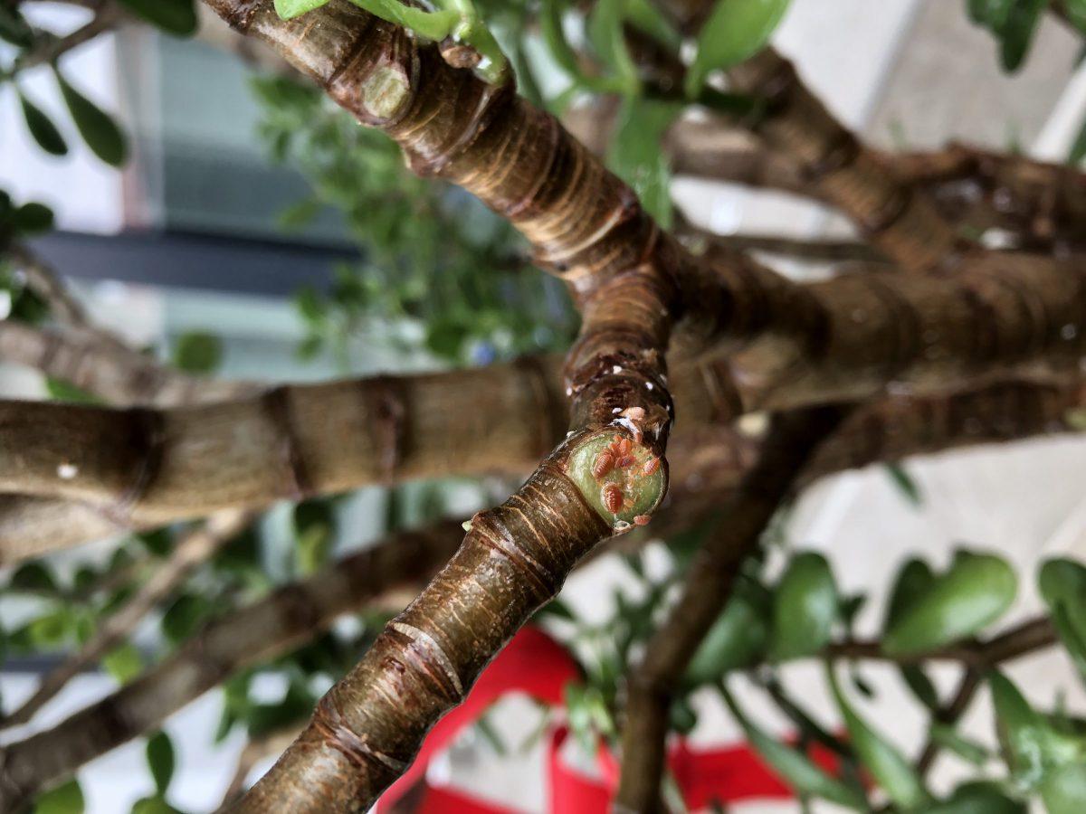 paduchi-testosi-plante-interior
