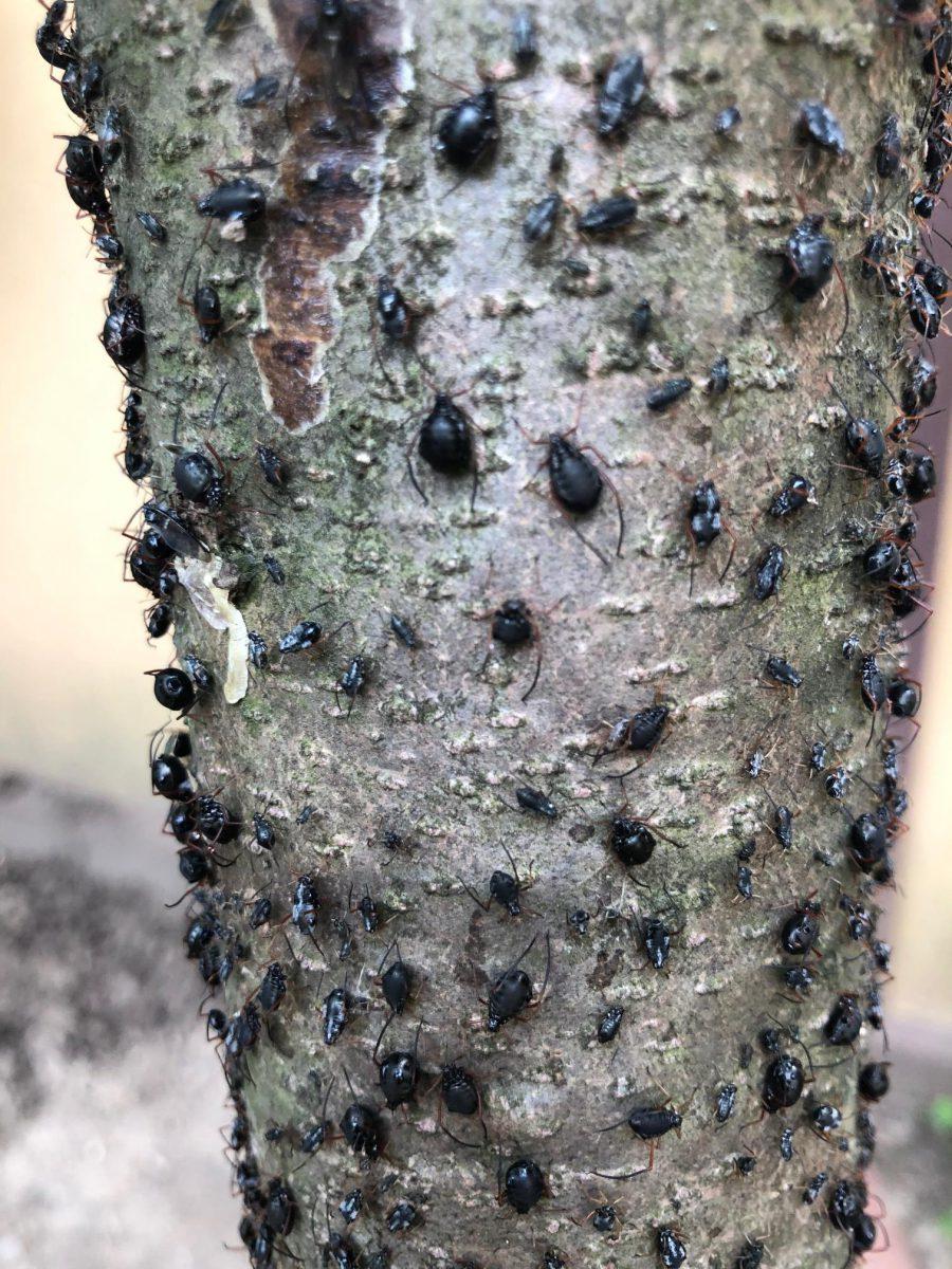 paraziti sau pradatori de tantari