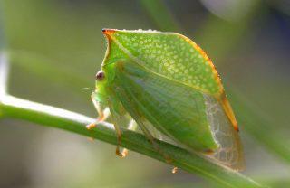 cicada-gheboasa-afin