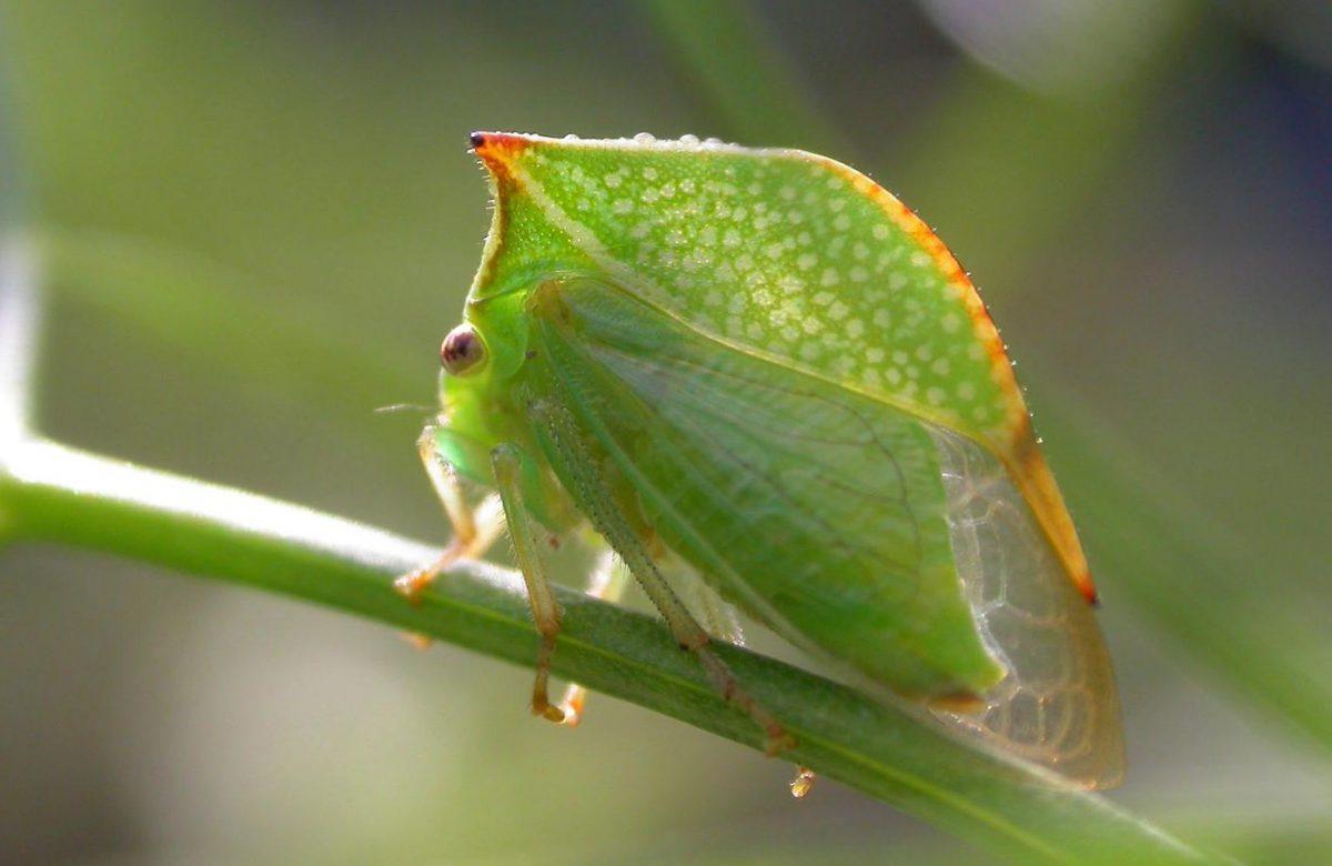 cicada-gheboasa