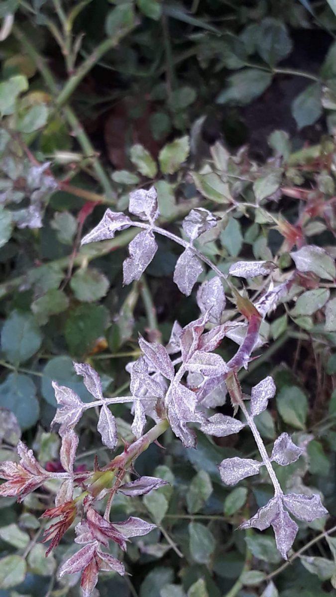 trandafir-tratamente-simptome-frunze-fainare