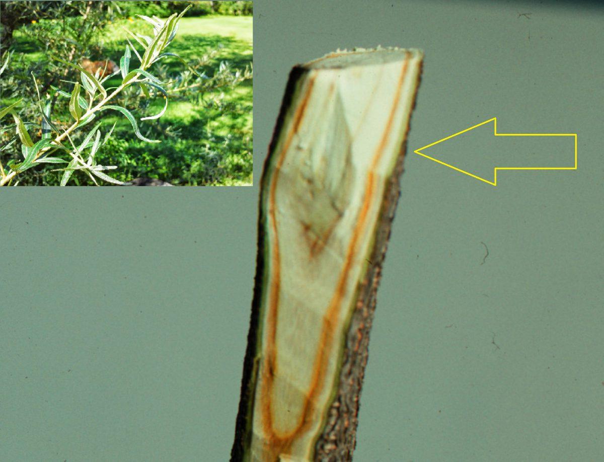 verticilium-catina