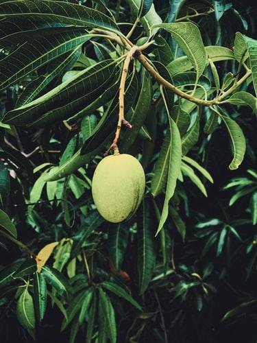mango-sfaturi-ingrijire-inmultire