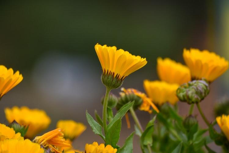 plante-medicinale-galbenele