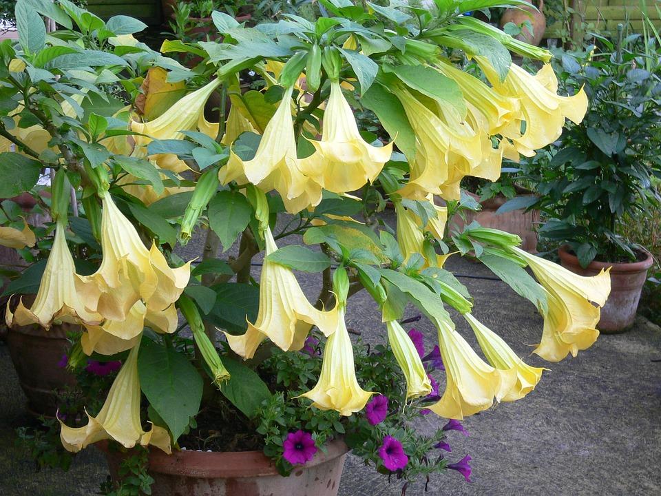 varietati-brugmansia