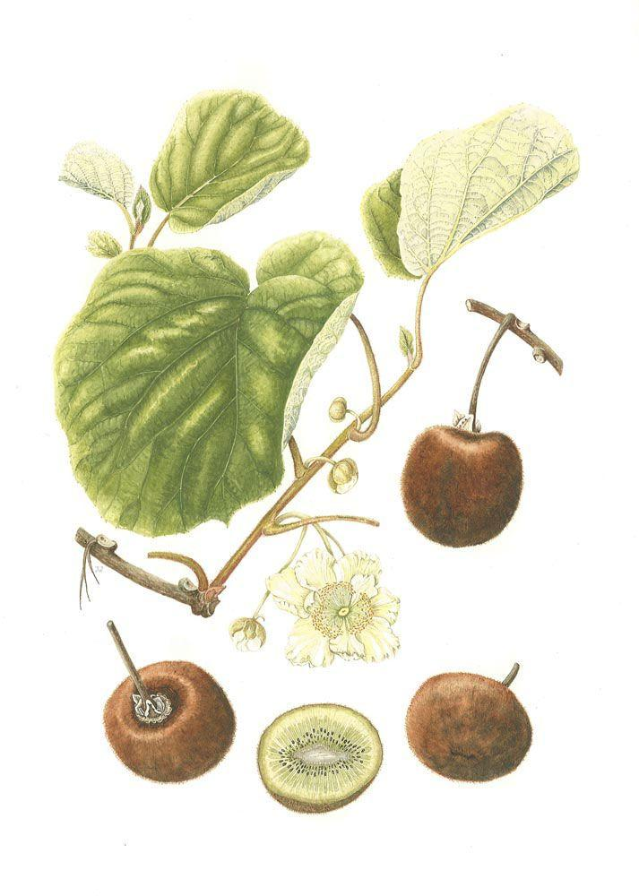 kiwi-descriere