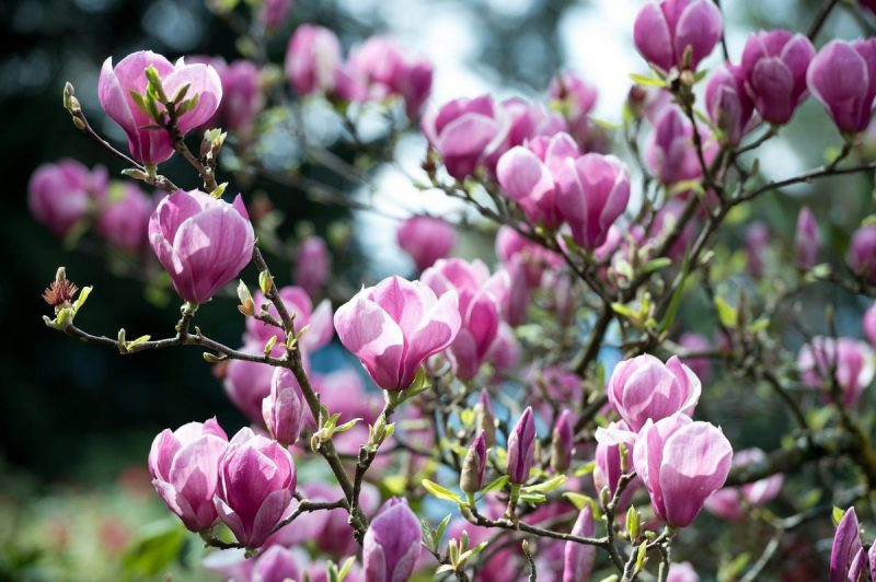 tratamente fitosanitare arbori si arbusti ornamentali
