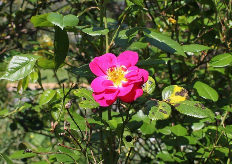 tratamente-fitosanitare-trandafir