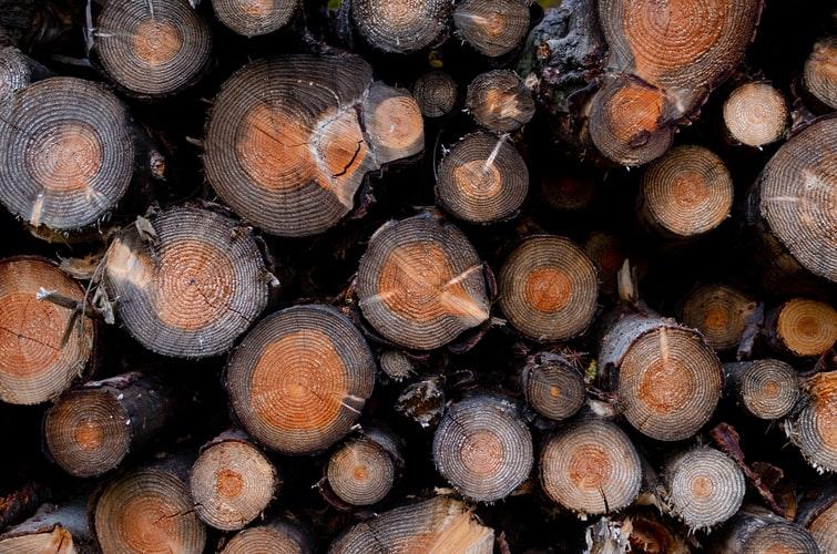 8.albastreala_lemn bolile coniferelor