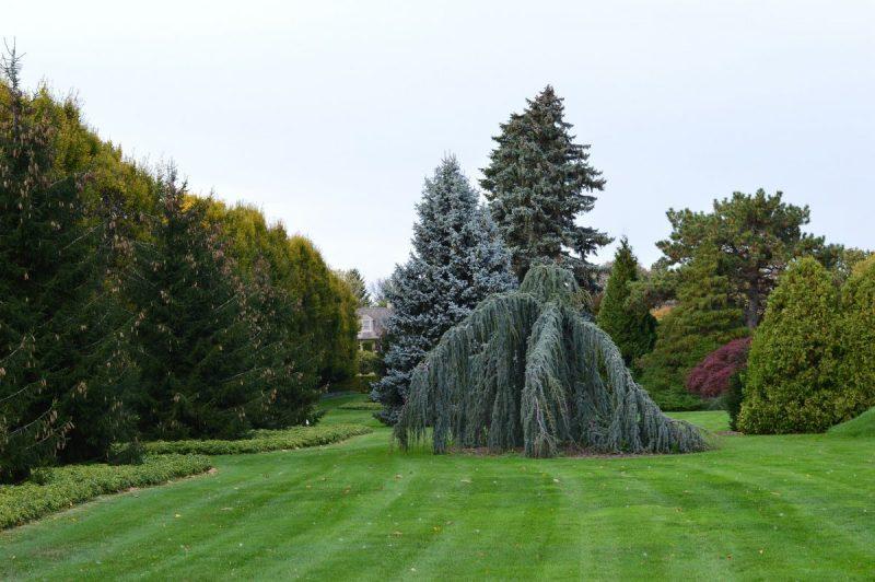 fertilizare-conifere
