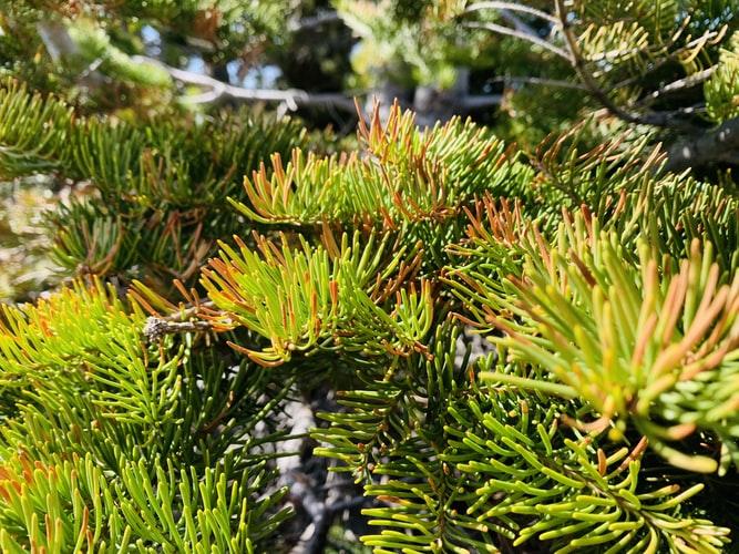 bolile coniferelor