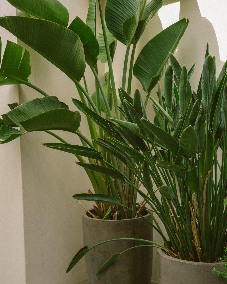 Strelitzia-sfaturi-ingrijire-cultivare