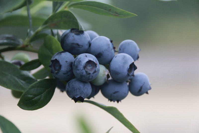 fertilizare-arbusti-fructiferi