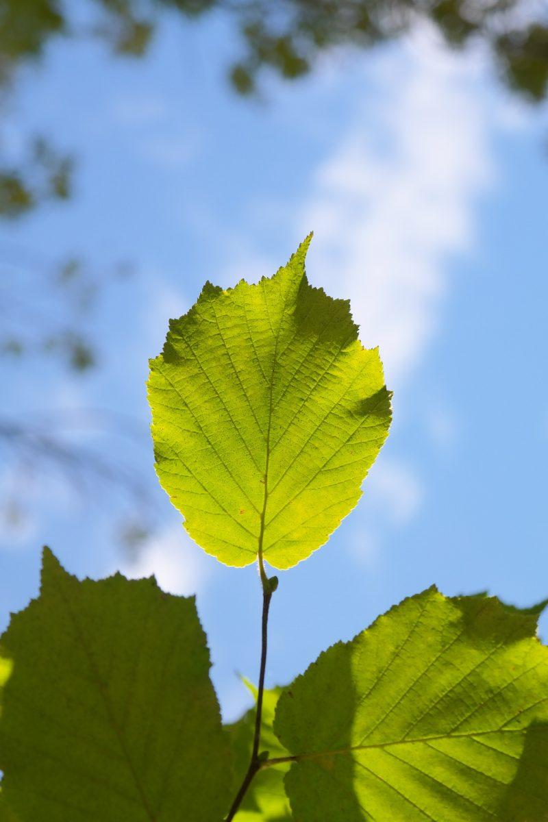 alunul ornamental frunze