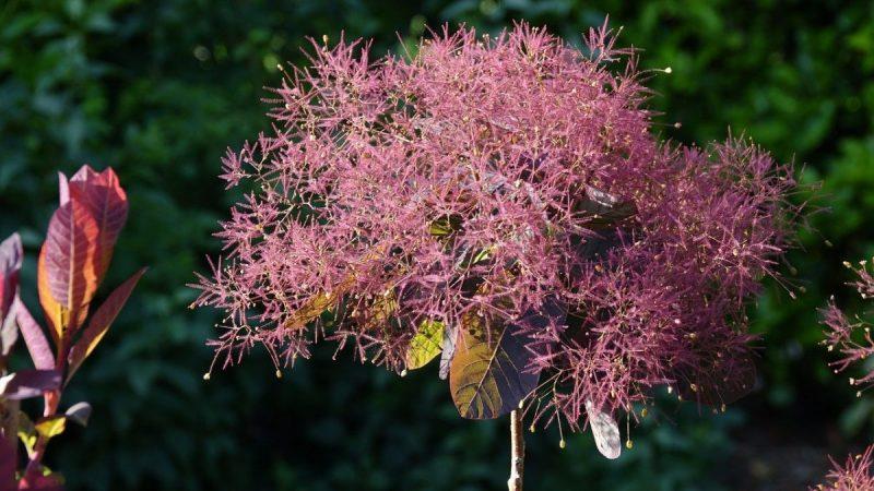 inflorescenta-cotinus-scumpie