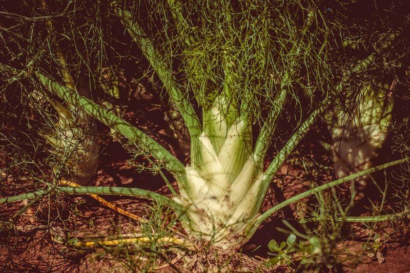 fenicul.planta