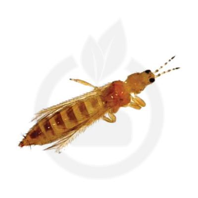 russell ipm pheromone frankliniella occidentalis 50 p - 1