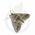 russell ipm pheromone lure duponchelia fovealis 50 p - 1
