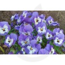Panselute Mov Cu Alb, Viola Swiss Giant Super Beaconsfield, 0.25 g