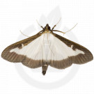 russell ipm pheromone lure cydalima perspectalis 50 p - 1