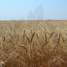 incda fundulea seed glosa wheat c1 40 kg - 1