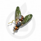 russell ipm attractant pheromone lure bactrocera oleae 50 p - 1