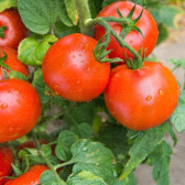 Tomate Campbell 33, 500 g