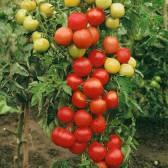Tomate Moneymarker, 50 g