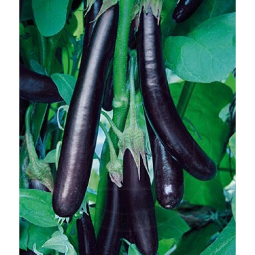 Vinete Long Purple, 50 g