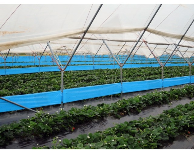 agrisense fly greenhouse sut blue glue roll 25 m 4 bucati - 4