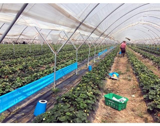 agrisense fly greenhouse sut blue glue roll 25 m 4 bucati - 6